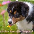 Australian Shepherd Kalender