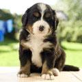Ariba vom Bärideich mit 5 Wochen