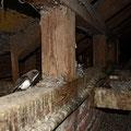 erwachsener Alpensegler in der Kolonie