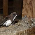 erwachsener (und beringter) Alpensegler in der Kolonie