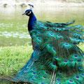 Paon déplumé Marais aux Oiseaux (2017)