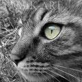 Tigrou yeux jaunes (2010)