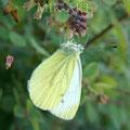 Papillon Citron (2017)