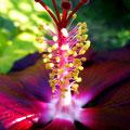 Hibiscus (2010)