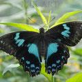 Papillon noir et bleu (2017)