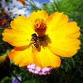 Yellow wasp (2010)