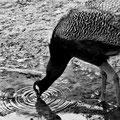 Paon se désaltérant Marais aux Oiseaux (2017)