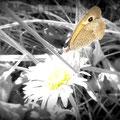 Papillon Myrtil (2010)