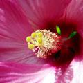 Hibiscus rose (2010)