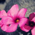 Fleurs rose à Sérent (2017)