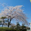 とどろき公園の桜