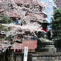 新宿御苑 大宋寺の桜