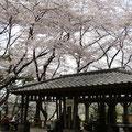 亀の子山の桜