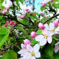 Detail Apfelblüte Hausgarten