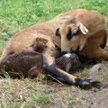 Trotz des enormen Stresses macht diese Erstgebärende alles richtig: das Mutterschaf leckt Maul und Nase frei, danach frißt sie die Eihäute.