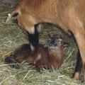 Im Stall wird das Lamm erst einmal richtig trocken geleckt.