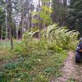Ein umgestürzter Baum, Weg muss freigeschnitten werden...