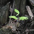 (c) Brigita Kajic - Aus totem Baum wächst ein neuer