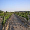 Viña tradicional en la que se cultivan los vinos de Galera
