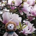 Magnolienblüte im April