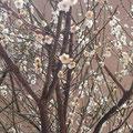 名城公園フラワーパークは、梅が満開でした