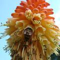 Fackellilie (Kniphofia)