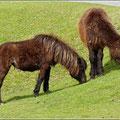 Pferde/Ponys