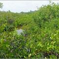 Mangroven im Park