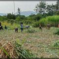 Selbst die Zuckerrohrernte erfordert viele Menschen