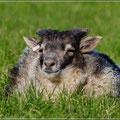 Ein zufriedenes Schaf