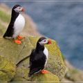 Papageientaucher auf Shetland