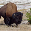 Diesen Bison konnten wir aus knapp 10 Meter beobachten (wir standen hinter einem Holzgeländer)