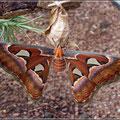 Kein Schmetterling, sondern eine Motte (aber riesig)