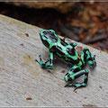 Green Dart Frosch