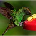 Kolibri im Flug (etwas abstützen ist erlaubt)