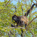 Spider Monkey (?) mit Nachwuchs