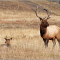 Northern Elk