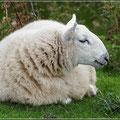 Schafe gibt es reichlich in Schottland