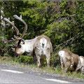Rentiere gibt es auch in Schweden