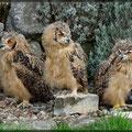 3 von 4 Bengalenuhus
