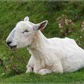 Schaf bei der Siesta