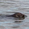 Der Seehund kam sehr nahe und beobachtete uns neugierig