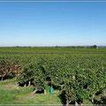 Weinberge gehören in Frankreich dazu