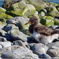 Vogelwelt Islands