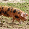Wird auch Plum-Pudding-Schwein genannt