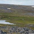 Rentiere in der Nordkap-Landschaft