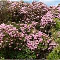 Rhododendronbaum