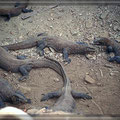 Komodo-Warane