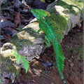 Plumed Basilisk (auch Emerald Basilisk)