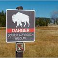 Auch Bison sind nicht zu unterschätzen